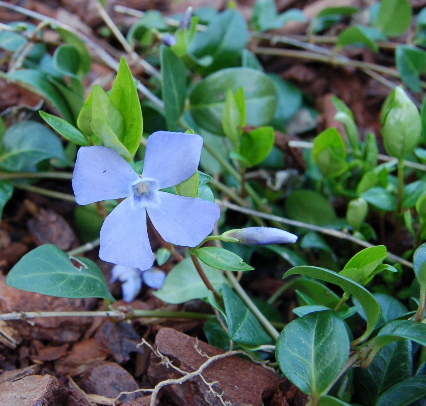 a periwinkle